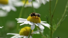 Bee sitting on a daisy, and collect pollen 2d Stock Footage