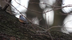 Nuthatch sits on a twig and looks around - Eurasian nuthatch - Sitta europaea Stock Footage