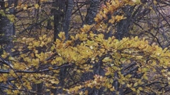 Tree branch with yellow leaves, golden in autumn season. Wind pounding  - stock footage