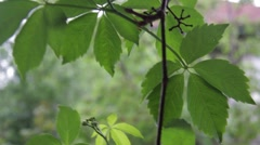 Closeup of ivy leaf in the wind. Ivy is an evergreen plant, ivy 1 - stock footage