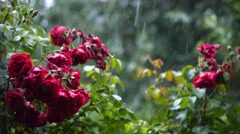 Sound of rain. Heavy rain summer garden. Pink roses are in bloom, they are wet  Stock Footage