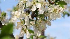 Bee pollinating flowers of plum tree. Stock Footage