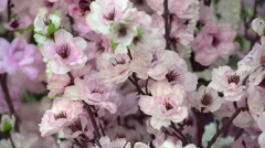 Pink cherry flowers blooming in springtime. Stock Footage