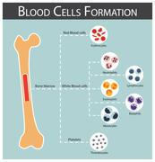 Blood cells Formation ( bone marrow produce blood cells series : erythrocytes - stock illustration
