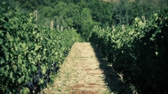 Rows of grapevines in Italy Stock Footage