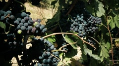 Grape's clusters - stock footage