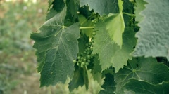 A vine grower showing a little grape's cluster Stock Footage
