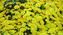 Many yellow daisies for sale before vietnamese new year Stock Footage