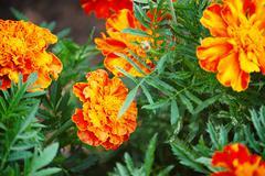 Marigolds  in the garden Stock Photos