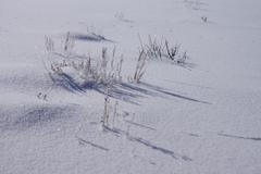 Icy dried grass on sparkling snow - stock photo