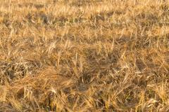 ears of yellow wheat field - stock photo
