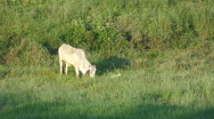 Indian cow and egret at the countryside Stock Footage