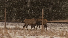 Winter in Banff, elk winter grazing along railroad tracks and fence Stock Footage
