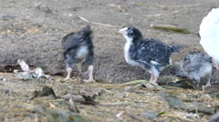 Baby chicks looking for food at a farm Stock Footage