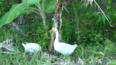 Two white gooses looking up Stock Footage