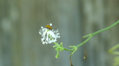 Little brown insect at a white flower Stock Footage