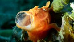 Painted (Orange) Frogfish Yawning Stock Footage
