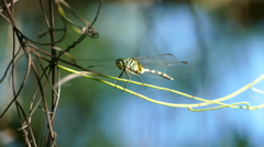 Stock Video Footage of Beautiful dragonfly sitting on a branch and flies away