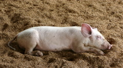 Baby pig sleeping at a farm Stock Footage