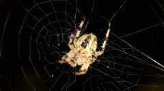 Close-up of Cross spider is hunting Stock Footage