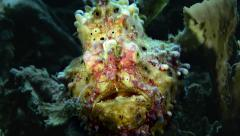 Warty Frogfish Angling close up Stock Footage
