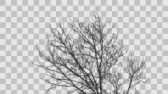 Tree with alpha channel Stock Footage