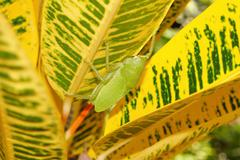 Brown-faced spear bearer katydid Copiphora hastata - stock photo