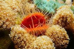 Marine life mollusk Flame scallop with coral - stock photo