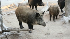 Wild boars in winter forest Stock Footage