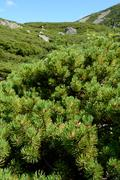 Dwarf mountain pine growing in Karkonosze mountains in Poland. Stock Photos