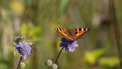 Butterfly Small tortoiseshell ( Aglais urticae, Nymphalis urticae) Stock Footage