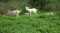 Jamaica adult and baby Goats on neighborhood trail HD 047 Stock Footage