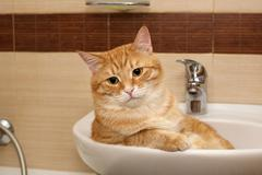 Big cat lying in  sink Stock Photos