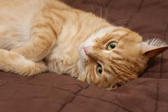 Big ginger cat  on the bed Stock Photos