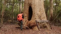 Hiker walks through majestic Karri tree Stock Footage