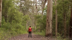 Man stands Majestic Karri tree forest in South West Australia Stock Footage