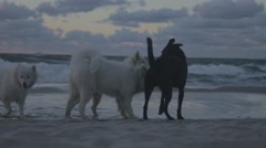 dogs playing on the beach - stock footage