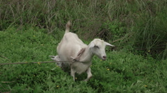 Jamaica nanny and baby kid Goats by neighborhood trail HD 048 Stock Footage