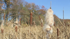 Cattails and Reeds growing in the swamp - stock footage