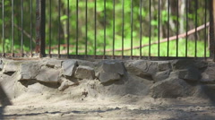 Amur tiger at the zoo - stock footage
