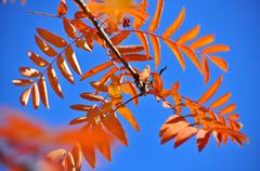 Time of leaf fall - bright leaves on branches. - stock photo