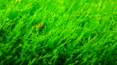 red shrimp with green grass in aquarium - stock footage