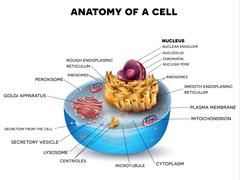 Cell structure Stock Illustration