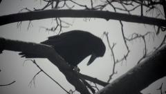 Black bird crow sitting on branch of dry wood, сontrast of sky Stock Footage