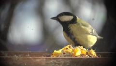 Bird Titmouse close up sitting in manger and biting pieces of bacon, fog, 4k - stock footage