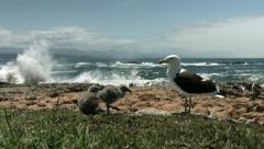 Seagull and two chicks Stock Footage