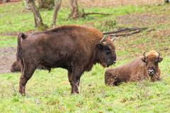 big european bison ( Bison bonasus ) in large enclosure - stock photo