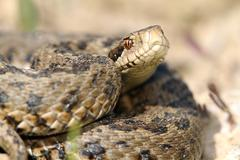 Close up of meadow viper, the most endangered snake in Europe ( Vipera ursini Stock Photos