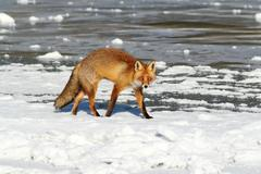 Colorful fox walking on ice ( Vulpes vulpes ); in winter, red foxes search fo Kuvituskuvat