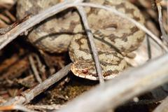 Common european viper hiding amongst twigs, basking in the sun ( Vipera berus Stock Photos